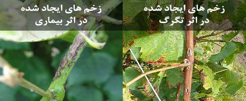 تفاوت زخمهای ایجاد شده بر اثر تگرگ با زخمهای بیماری آنتراکنوز انگور