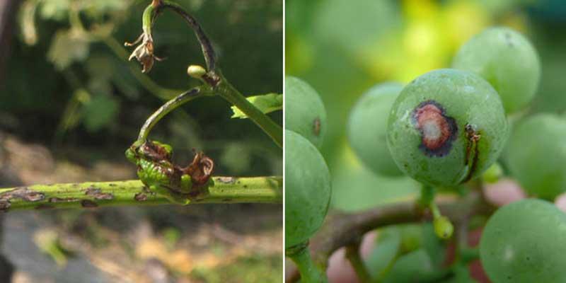 علایم بیماری آنتراکنوز انگور روی میوه و جوانه