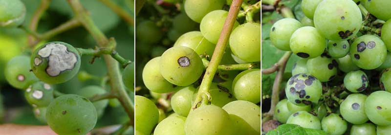 علایم بیماری آنتراکنوز مو روی میوه انگور