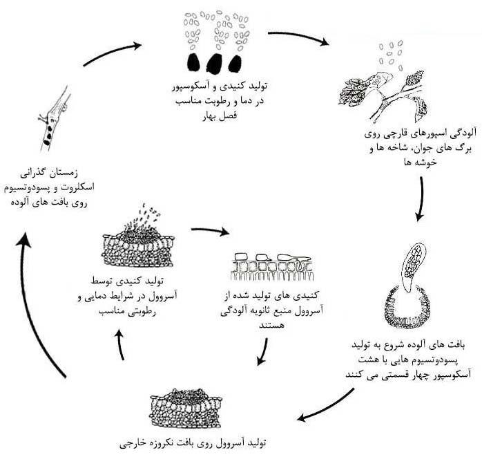 چرخه زیستی عامل بیماری آنتراکنوز انگور (Grape anthracnose)