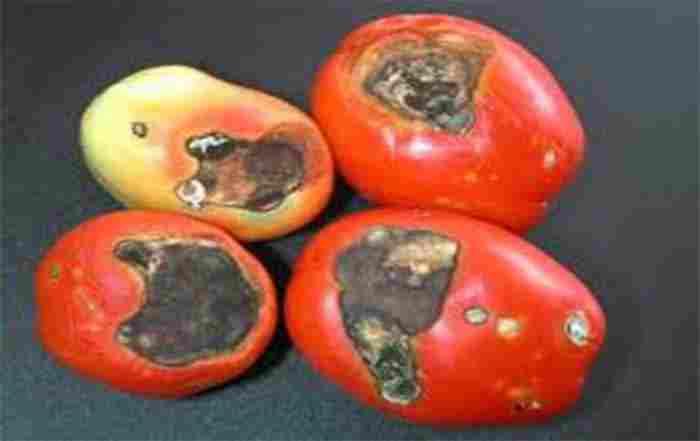 بیماریهای گوجه فرنگی    Disease of tomato