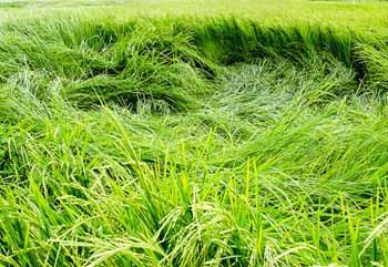 بیماریهای برنج