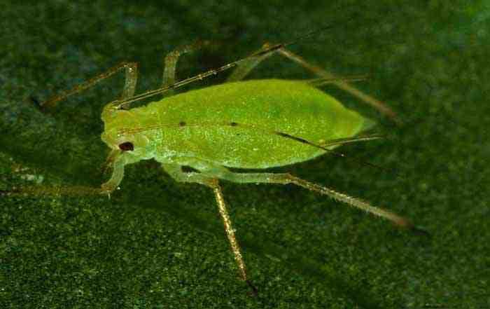 شته سبز هلو Myzus Persicae