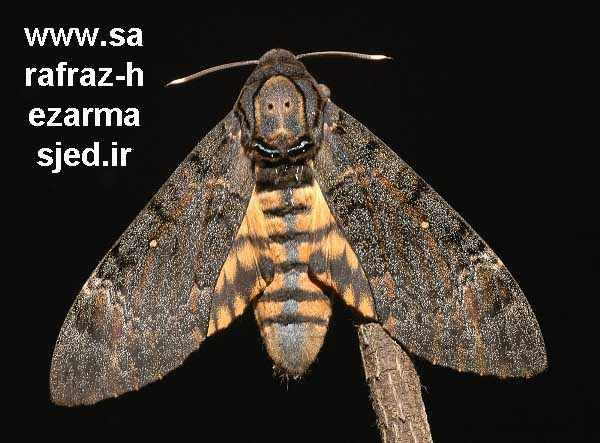 Acherontia atropos پروانه کله مرده