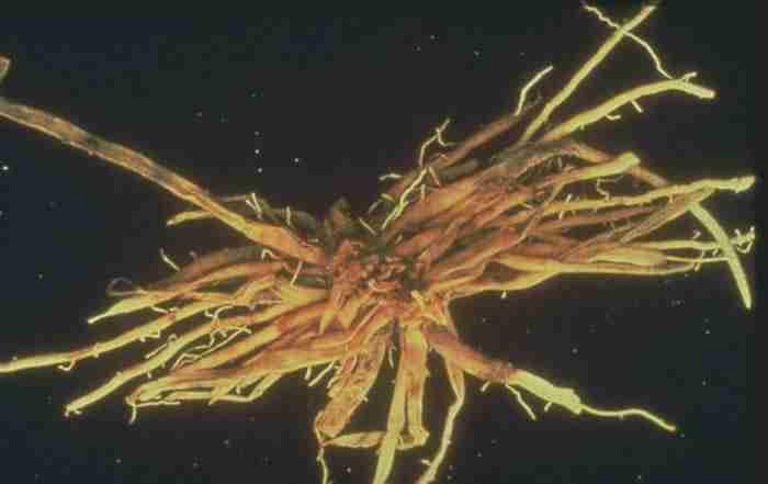 بیماری پوسیدگی طوقه برنج Gibberella fujikuroi