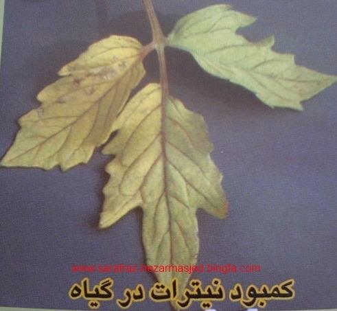 کمبود نیترات در گیاه
