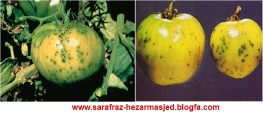 Pseudomonas syringae pv. tomato  بیماری لکه گرد گوجه فرنگی