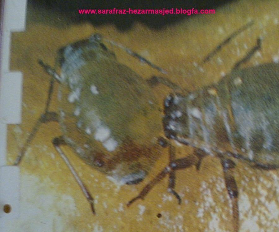 کرم برگخوار (کارادرینا)    spodoptera exigua