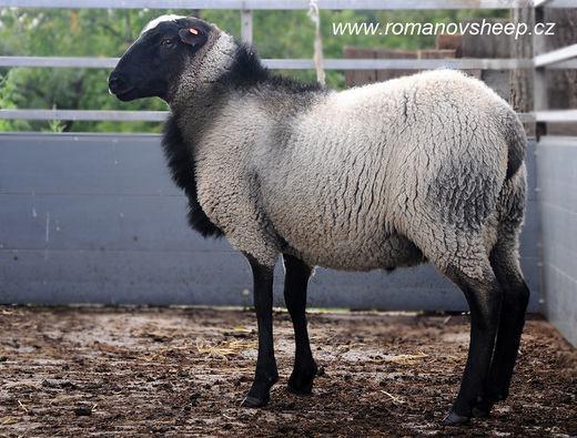 گوسفند نژاد رومانوف www.sarafraz-hezarmasjed.ir