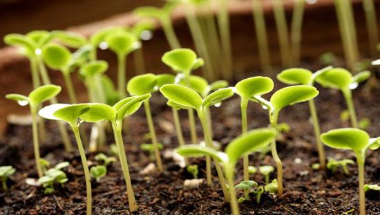 آزمایش قوه نامیه بذر و قدرت جوانه زنی