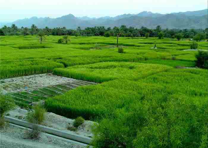 دستورالعمل مدیریت تلفیقی حاصلخیزی خاک و تغذیه برنج ( قسمت سوم )