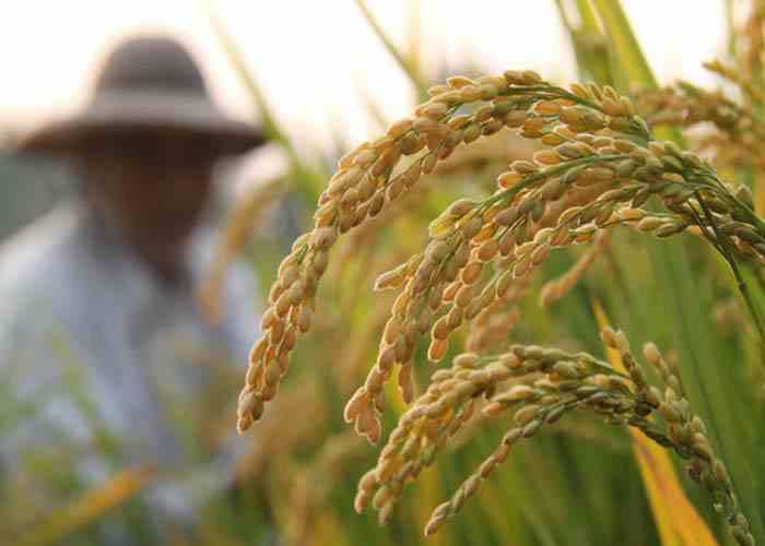 دستورالعمل مدیریت تلفیقی حاصلخیزی خاک و تغذیه برنج ( قسمت دوم )
