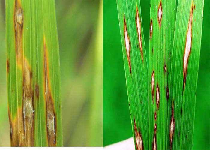 بیماری بلاست برنج