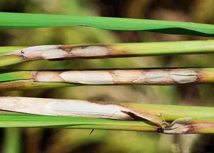 بیماری سوختگی غلاف برگ برنج یا شیت بلایت