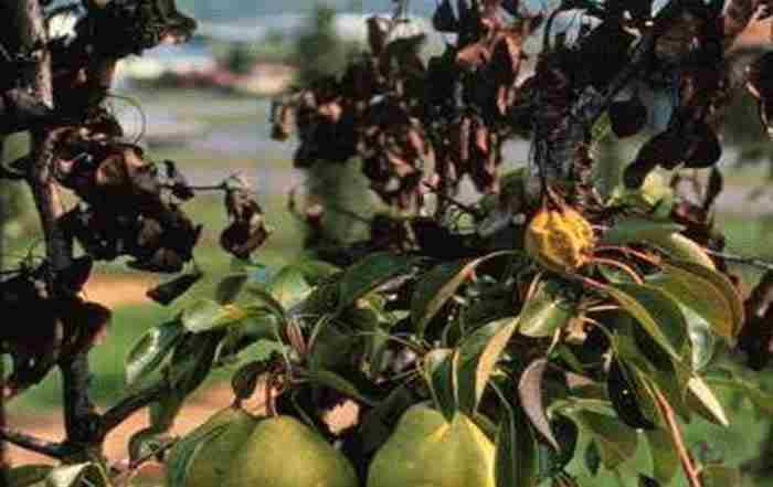 ناهنجاریهای تغذیه ای در درختان ميوه   (قسمت اول)