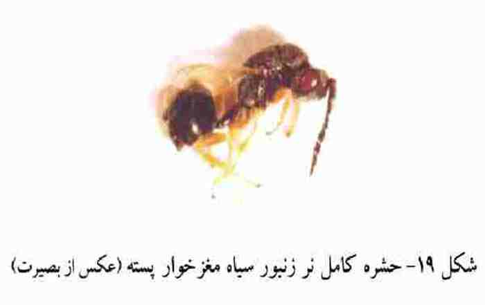 زنبور سیاه مغزخوار پسته