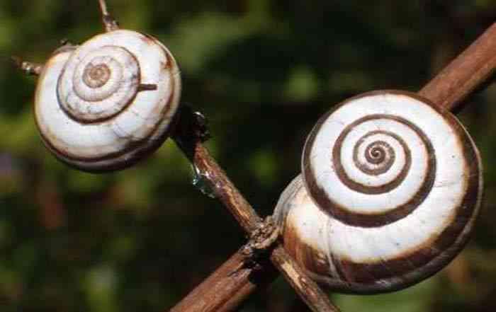 حلزون کوچک مرکبات