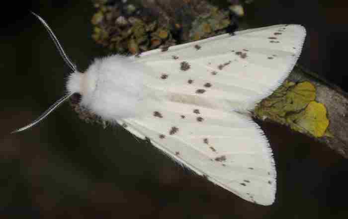 پروانه سفید آمریکایی