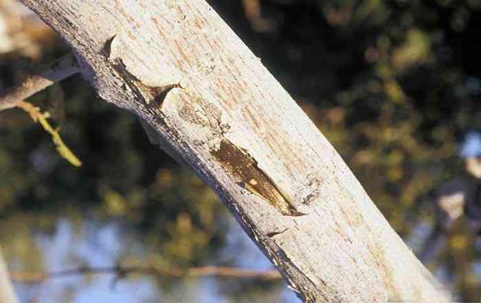 خشکیدگی شاخه گردو