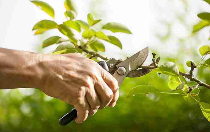هرس و تربیت درخت انار