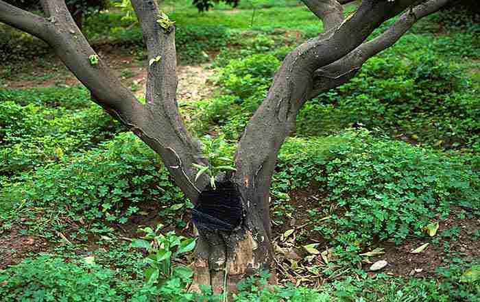 سرخشکیدگی درختان پسته