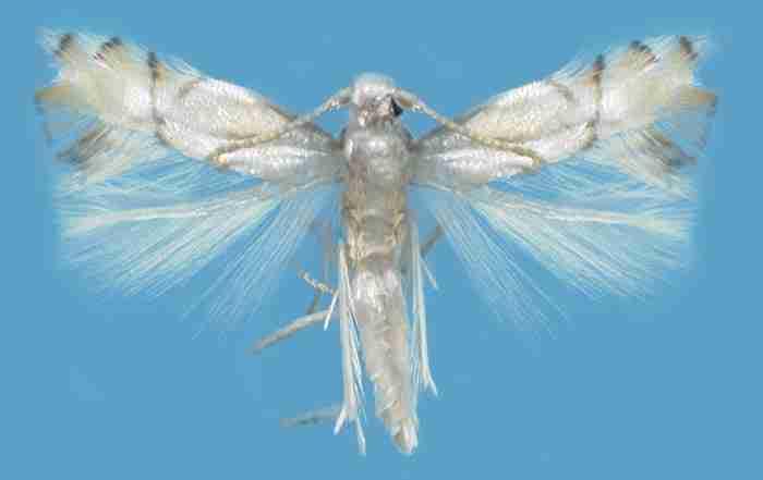 پروانه مینوز مرکبات