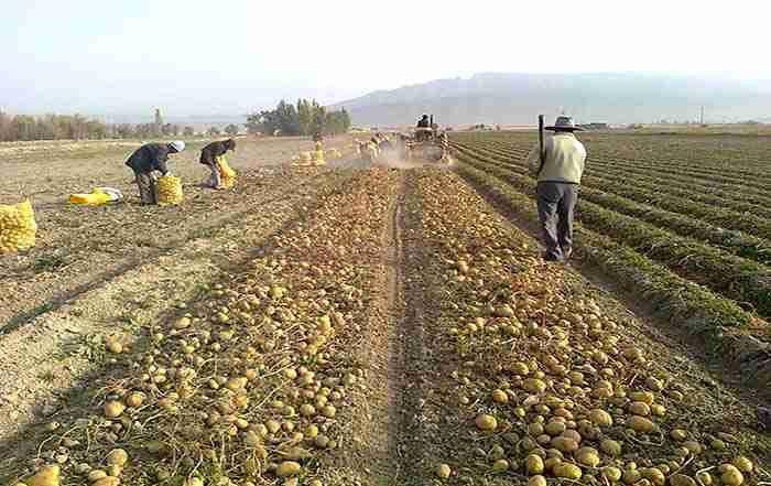 عدم تعادل عناصر غذایی در سیب زمینی