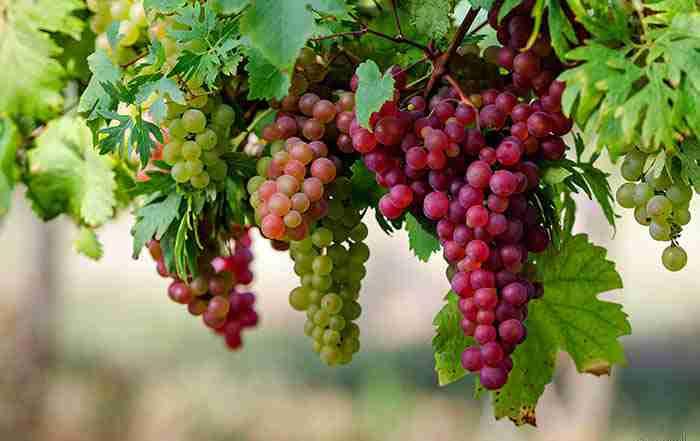 مدیریت تغذیه انگور  ( قسمت اول )