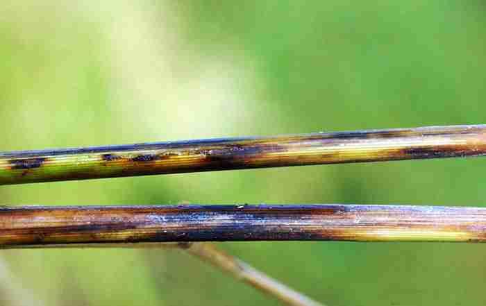 پوسیدگی ساقه برنج
