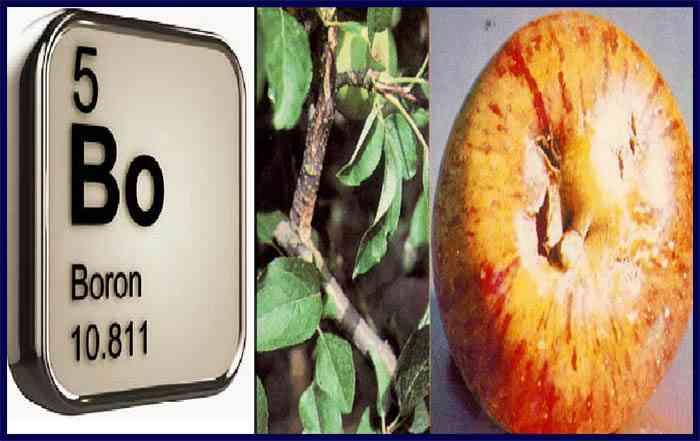 نقش عنصر بور در تغذیه گیاهان