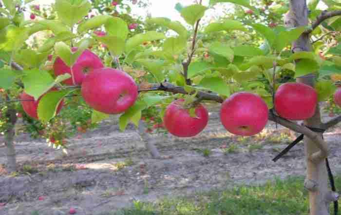 مدیریت آبیاری و تفذیه در باغات متراکم سیب