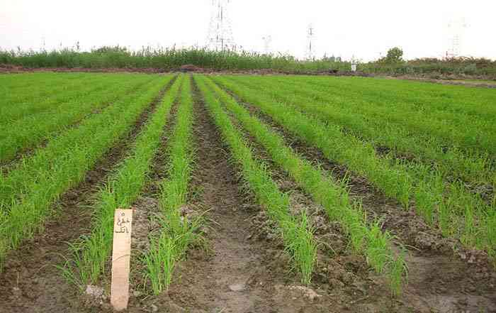 آبیاری قطره ای نواری در زراعت برنج
