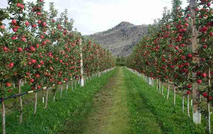 پرورش درختان سیب پاکوتاه