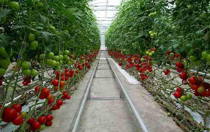 کاشت گوجه فرنگی گلخانه ای