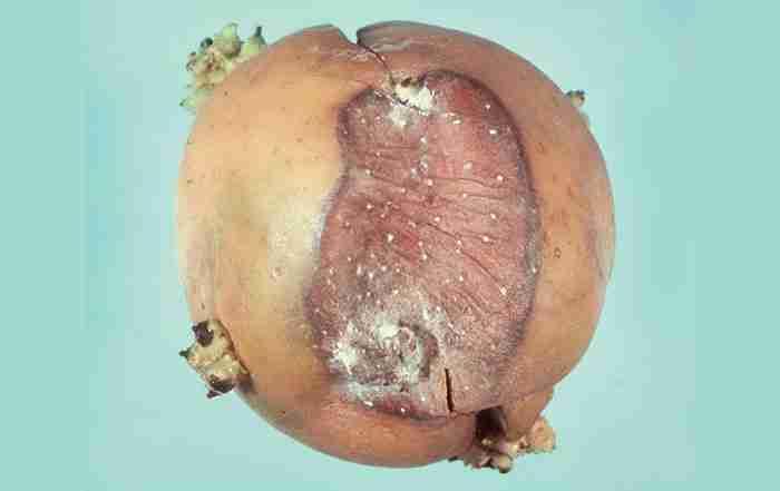 کپک خاکستری سیب زمینی