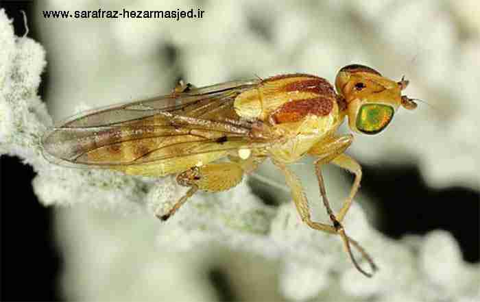 Meromyza saltatrix