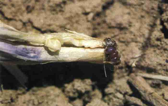 Porphyrophora tritici Bodenhimer