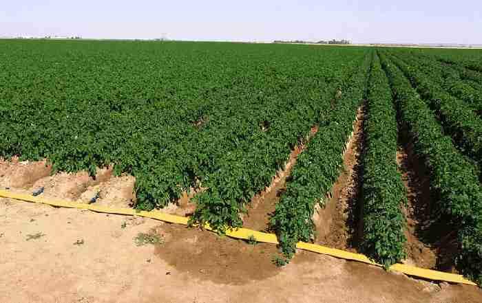 کاربرد آبیاری قطره ای در زراعت سیب زمینی