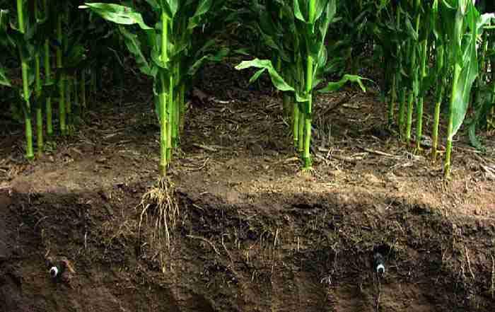 آبیاری جویچه ای یک در میان در زراعت گندم