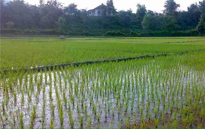 مدیریت آبیاری برنج در شالیزار