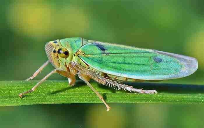 زنجرک سبز برنج - Cicadella viridis