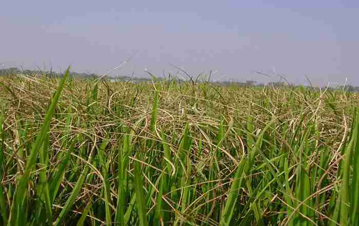 بیماری سوختگی باکتریایی برگ برنج