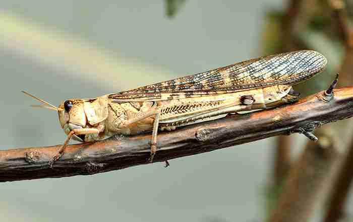 ملخ آسیایی ( Locusta migratoria )