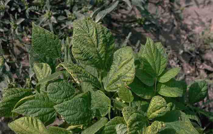 بیماری ویروس موزاییک معمولی لوبیا
