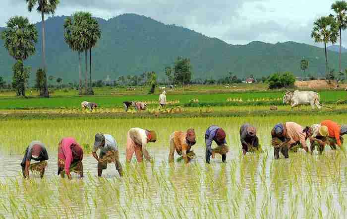 کاشت برنج در شالیزار