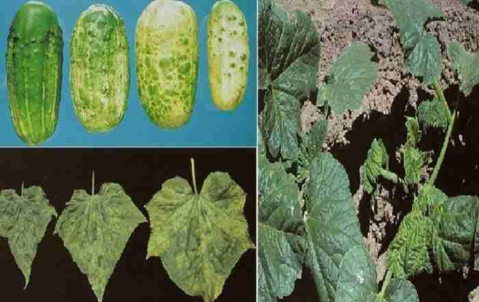 بیماریهای سبزی و صیفی جات ( قسمت اول )