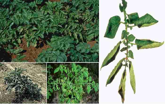 مدیریت بیماری پوسیدگی آرمیلاریایی ریشه انار