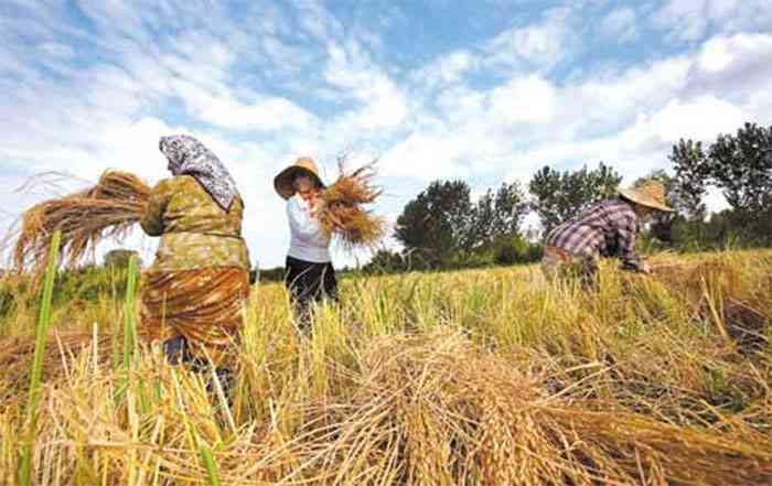 تولید و کاشت برنج در کشاورزی پایدار (ق۳)