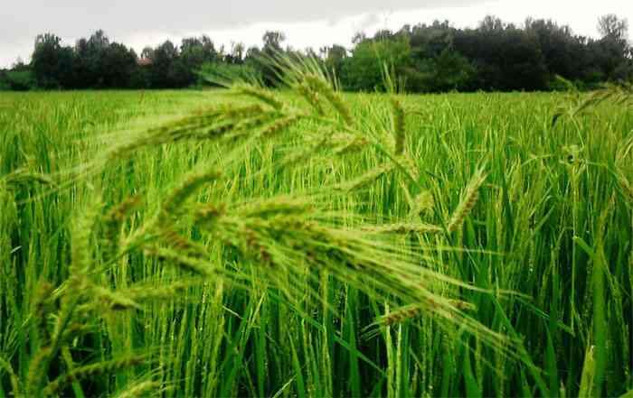 تولید و کاشت برنج در کشاورزی پایدار ( ق2 )