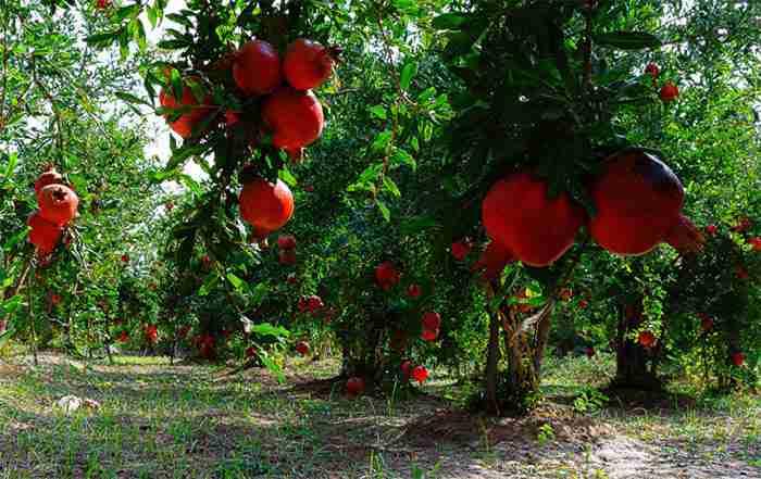 تغذیه انار و توصیه کودی باغات انار ( قسمت دوم )